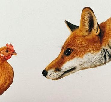 renard-poule3